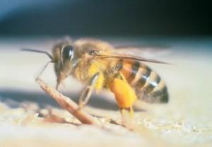 killer bee public domain