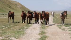 Horses near the Chinese and Kyrgyzstan border. (photo by Kirsten Koza)