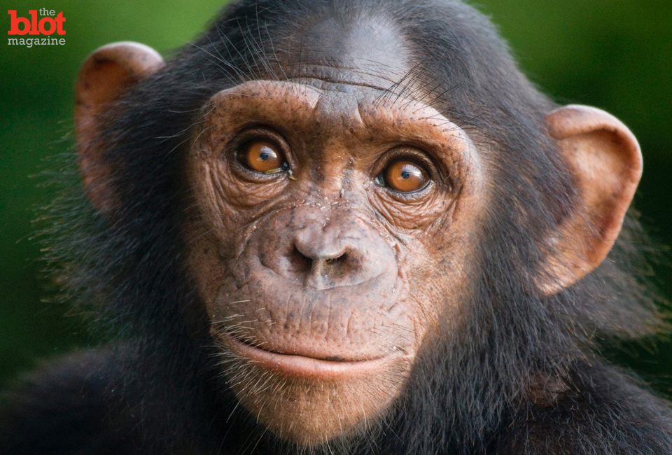 Tommy the Chimp is in the middle of a widely debated court case that will determine if the 26-year-old primate should be recognized as a legal person. (Huffington Post photo)