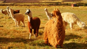 Alpacas, Sacred Valley of Peru. (photo by Kirsten Koza)