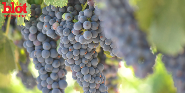 Some Australian vintners are spraying sunscreen on their grapes protect them from the hot sun. We can't wait to hear wine snobs opine about SPF 'legs,' etc.