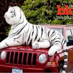 Stuffed Tiger on the Loose in Cow Barn, Causes Panic