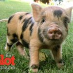 Canadian Couple Adopts a Potbellied Pig to Slaughter & Eat