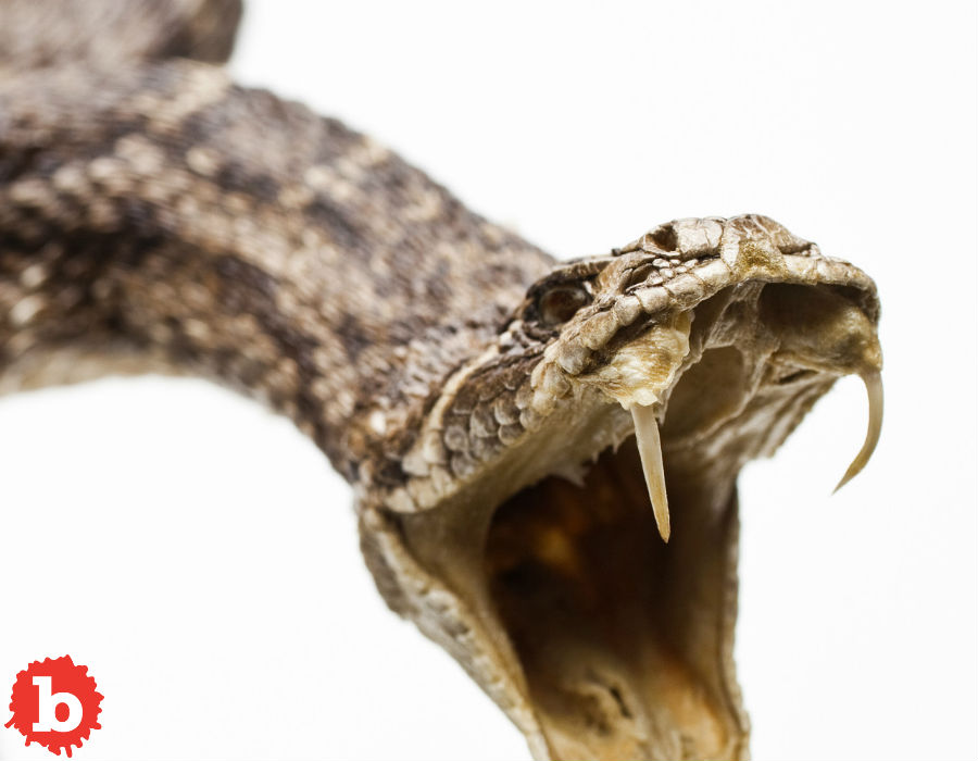 Severed Rattlesnake Head Bites Man in Corpus Christi