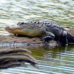 Gator Attacks Homeless Florida Woman in Late Lake Swim