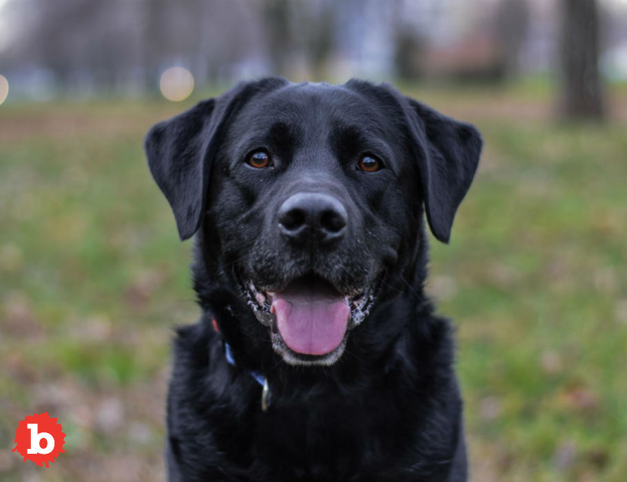 Man Saved From 50-Year Prison Stint by Black Labrador