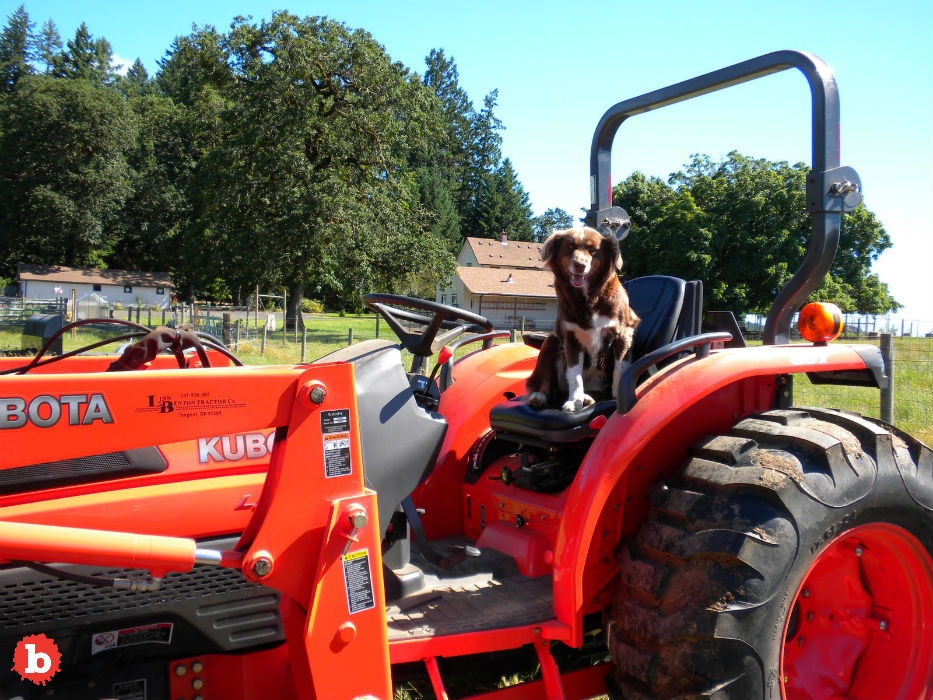 Bad End, English Millionaire Killed By Dog Driving Tractor