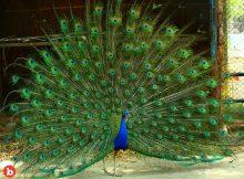 Peacock Named Pea Runs Away for Turkey Love
