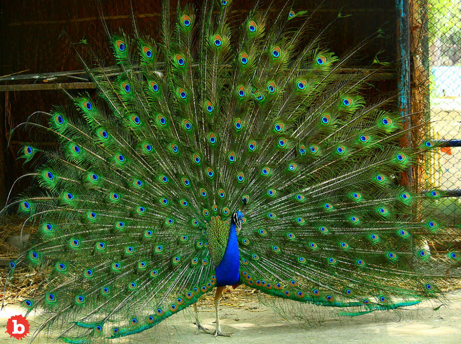 Peacock Named Pea Runs Away for Turkey Love