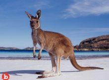 Police Rescue Drowning Kangaroo, Revive Wet Hopper