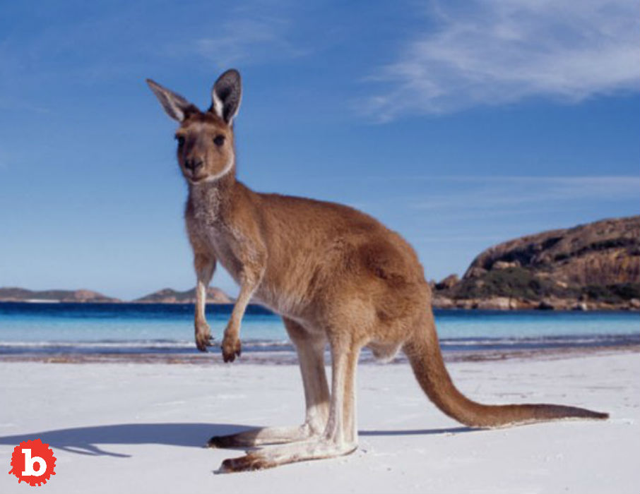 Police Rescue Drowning Kangaroo, Revive Wet Hopper
