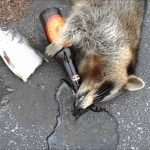 Rabid? No, West Virginia Had Shitfaced Drunk Raccoon Scare