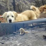 Guard Dog Found Alive at Home Destroyed by Cali Fire