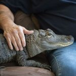 Penn Man Has Alligator for Emotional Support