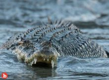 Man Jumps Into Croc River to Impress Girl Gets Mauled
