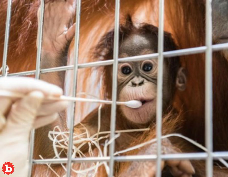 Orangutans Shock Swiss Zoo After Paternity Test