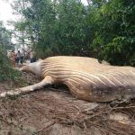 Dead Humpback Whale Carcass Appears Inside Amazon Jungle