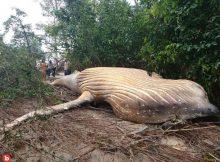 Dead Humpback Whale Carcass Appears Inside Amazon Jungle