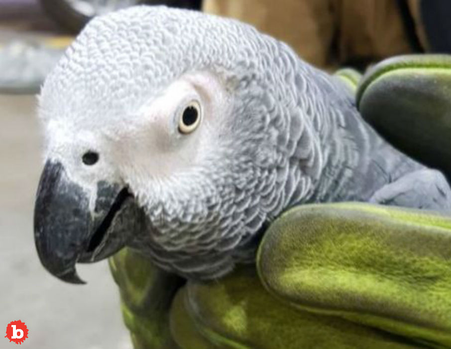 Mystery Parrot Hugo Finds Owner Speaking Slovak
