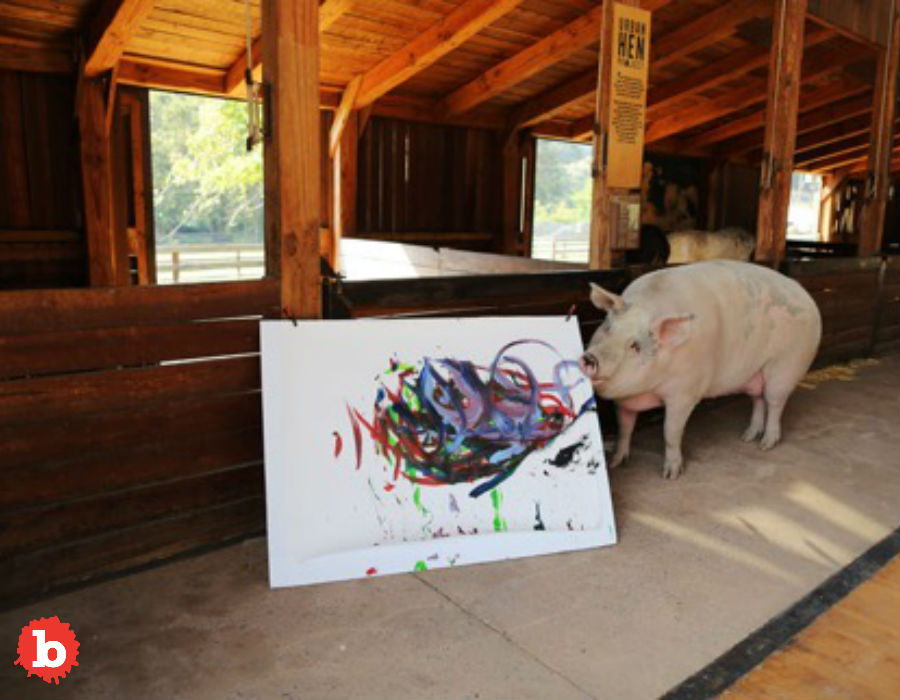 "So I love pigs. But that's a conflict. Because I also love bacon. The more I see cool pigs, the less I feel ok about bacon. So this makes that salty masterpiece even harder to enjoy. A rescue pig has stolen all the attention at an animal sanctuary in Franschhoek, South Africa. That's because this porker loves colors and paintbrushes. And she likes using one to enact the other. So yes, that means this is a pig who paints. A painter pig, or Pigcasso, if you will. But this is truly a rags to riches success story. Pigcasso found herself rescued way back when she was a piglet in a abattoir. Her scanctuary home is in the country's Western Cape region. She's been there since 2016. But her new owners realized this pig loved colors and paint paintbrushes and even painting. We all know that pigs are smart. But being smarter than a dog doesn't mean you can paint. And this pig can paint! Good pig. Joanne Lefson runs the Farm Sanctuary SA and said, ""Pigs are very smart animals and so when I brought Pigcasso here to the barn, I thought how do I keep her entertained? We threw in some soccer balls, rugby balls and of course there were some paintbrushes lying around because the barn was newly build ... She basically ate or destroyed everything except these paintbrushes ... she loved them so much."" But then before they knew what was happening, this good pig was dipping paint brushes into paint! She then would….paint! So here's the thing: this pig paints. On canvas. People buy her paintings for as much as $4,000. But all the money goes to support animal welfare. But this pig is also fashionable. And no, I'm not putting lipstick on a pig, literally or otherwise. One of her paintings is now a watch face for Swatch. They call the limited-edition watch, ""Flying Pig by Ms. Pigcasso."" It's got gren, blue and pink painterly strokes. You can buy the watch for $120. But bring home the bacon, first."