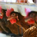 Pecked to Death, Chickens Kill Fox Who Gets Into Henhouse