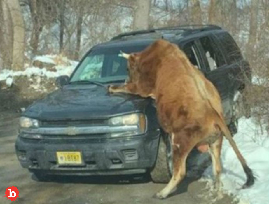 Cops in New Jersey Shoot Pet Bull After Cruiser Attack