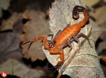 Canadian Woman Discovers Poisonous Scorpion 3 Weeks After Cuba Trip