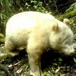 First Ever Albino Panda Bear Caught on Camera in China