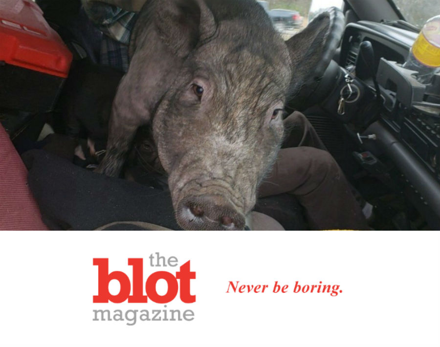 Minnesota Police Pull Over Driver With 250lb Pig in Lap