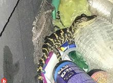 Police Pull Woman Over Woman Pulls Gator From Leggings