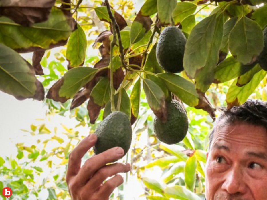 Organized Crime Regularly Targets Avocado Farmers, Making Guac $$$