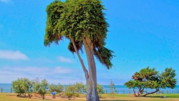 Tragedy As Tree That Inspired Dr Seuss The Lorax is Dead