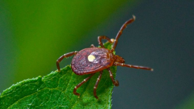 Lone Star Tick Bites Can Cause Sudden Allergy to Red Meat