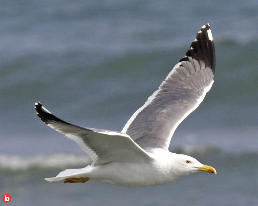 Sea Gulls Might Talk to Each Other Thru Eggshells As Embryos