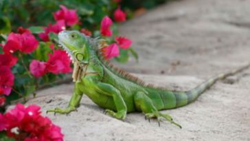 Florida Asks Homeowners to Smash Iguana Skulls Whenever Possible