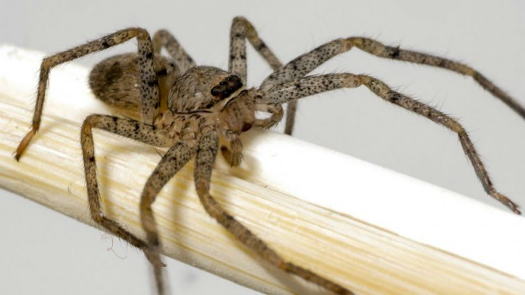Brown Recluse Spider Took Up Residence in Missouri Woman's Ear