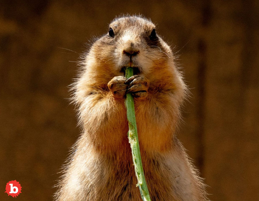 Piece of Denver Shut Down Because of Prairie Dogs With Plague