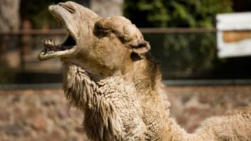 Camel Sits on Invasive Woman, Woman Bites Camel's Testicles
