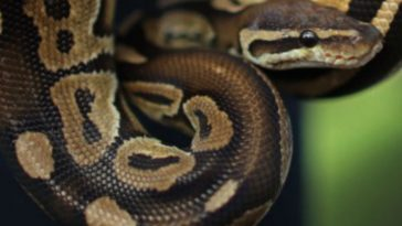 Hunt On For 3-Foot Escaped Python Kai in Wisconsin High School