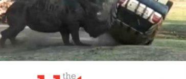 Rhino Flips Over Car, Gamekeeper at Serengeti Safari Park