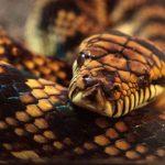 16-Foot Scrub Python Attacks 4-Year-Old, Dad Attacks Back