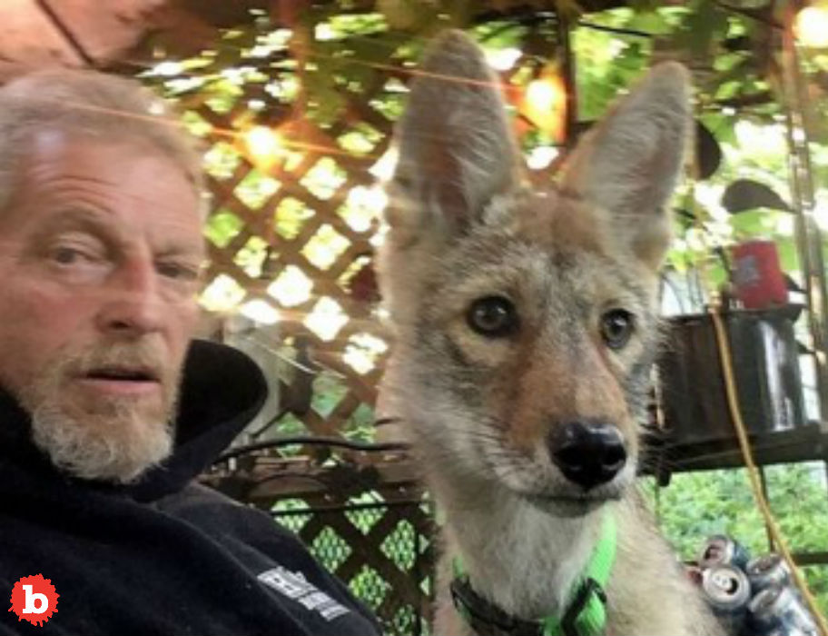 Iowa Man Has Pet Coyote Fights to Keep it for Emotional Support