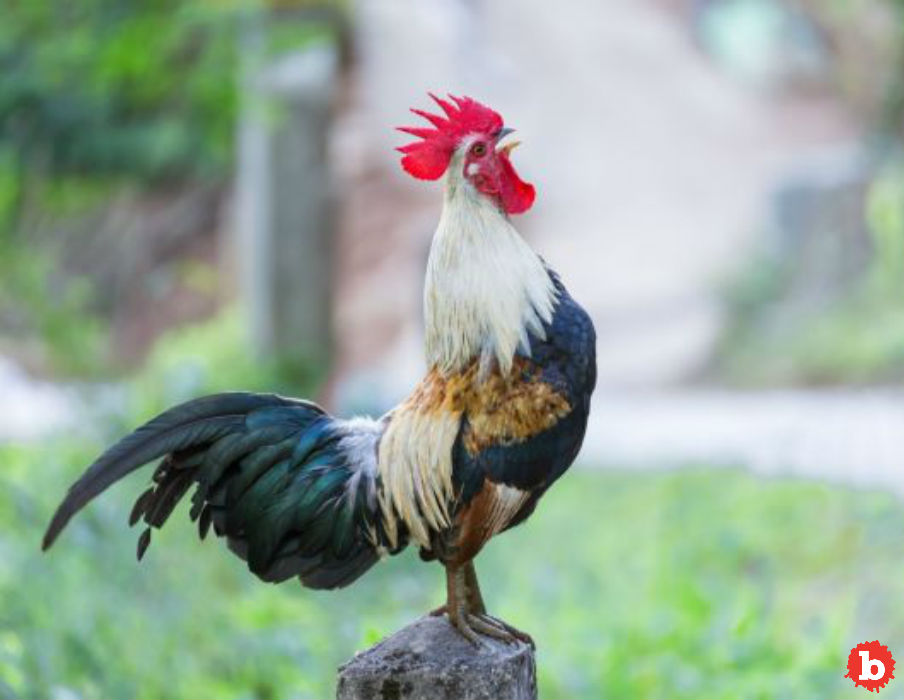 Razor Clawed Rooster Kills Owner Going to Cockfight