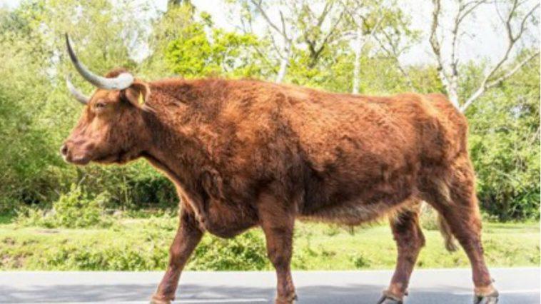 Man Gets 3 Day Hard-On Using Bull Viagra for Breeding