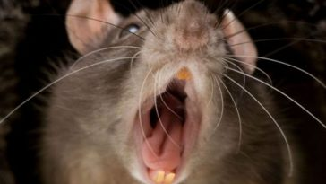 Rat Bites New York Man's Penis in Jail, Now It's Ratfukked