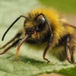Sudden Decline in Bumblebees Leading to Mass Extinction