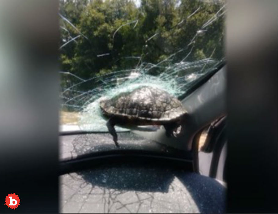 Flying Turtle Smashes Thru Car Windshield, Doesn't Make It