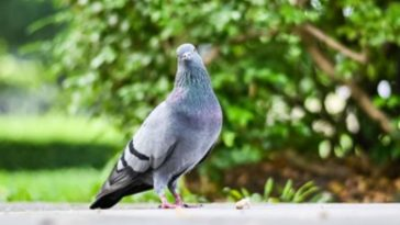 India Catches Supposed Spy Pigeon From Pakistan