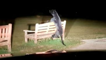 UK Police Respond to Panther On the Loose, But It's a Giant Plushie