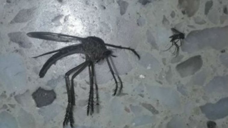 What Was Up With That Giant Mosquito in Argentina?